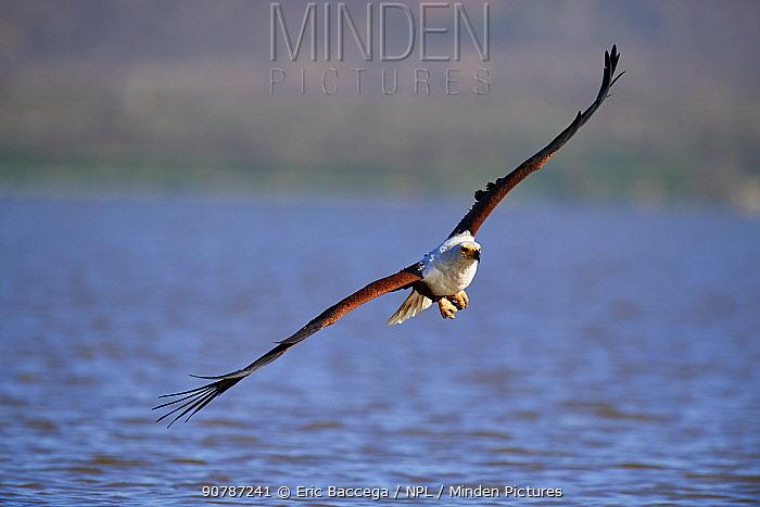 African fish eagle (Haliaeetus vocifer) about to catch fish, Baringo lake, Kenya.