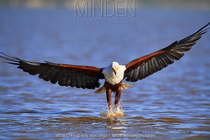 African fish eagle (Haliaeetus vocifer) fishing, Baringo lake, Kenya. Sequence 3/7