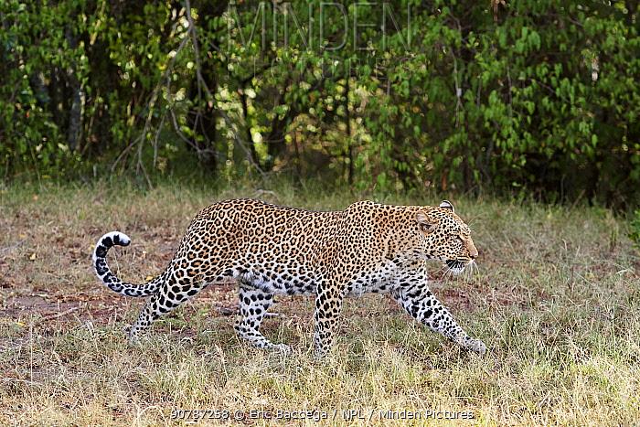 Leopard (Panthera pardus) female Masai Mara National Reserve, Kenya.