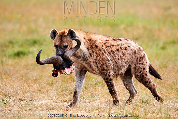 Spotted hyena (Crocuta crocuta) with a wildbeest skull,  Masai Mara National Reserve, Kenya.