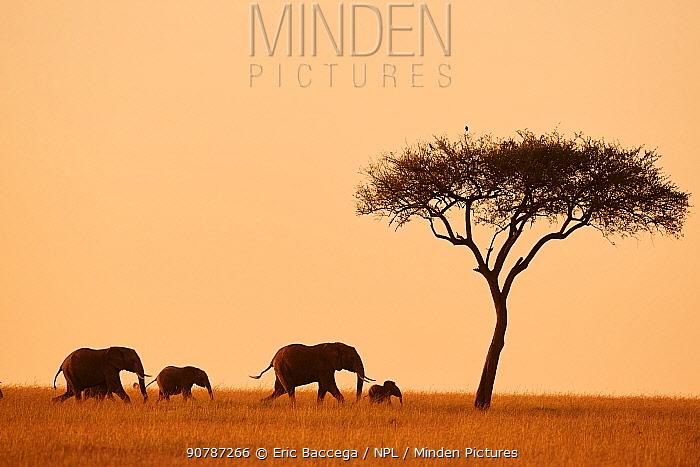 African elephant family (loxodonta africana) walking in the savanna at sunrise, Masai Mara National Reserve, Kenya.