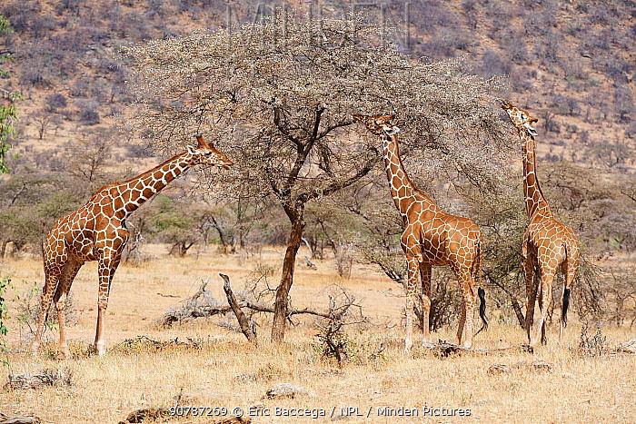 Reticulated giraffes (Giraffa camelopardalis reticulata) feeding on acacia tree, Samburu National Reserve, Kenya.