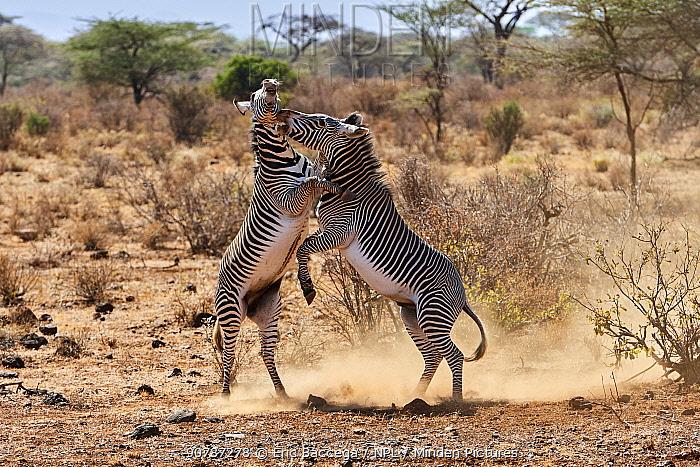 Grevy zebra  (Equus grevyi) stallions fighting, Samburu National Reserve, Kenya.