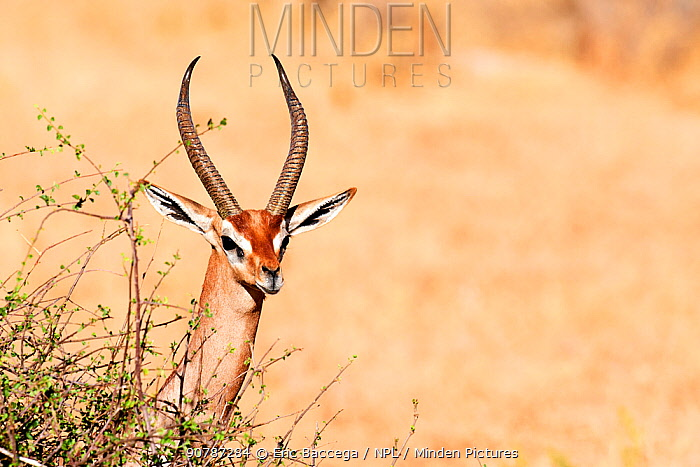 Gerenuk (Litocranius walleri) male, Samburu National Reserve, Kenya.