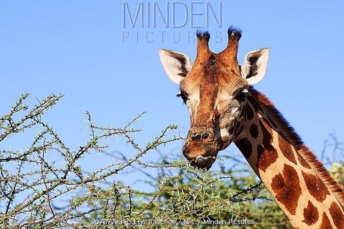 Rothschild giraffe (Giraffa camelopardalis rothschildi) feeding on acacia leaves, Ruko Conservancy island,  Lake Baringo, Kenya.