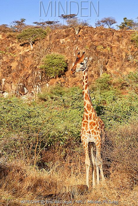 Rothschild giraffe (Giraffa camelopardalis rothschildi), Ruko Conservancy island,  Lake Baringo, Kenya.