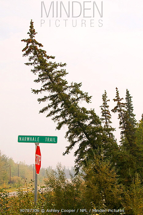 A 'Drunken forest' in Fairbanks, Alaska where trees are collapsing into the ground due to global warming induced permafrost melt.  Alaska, USA, August 2004