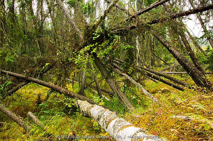 A 'Drunken forest' in Fairbanks, Alaska where trees are collapsing into the ground due to global warming induced permafrost melt. 