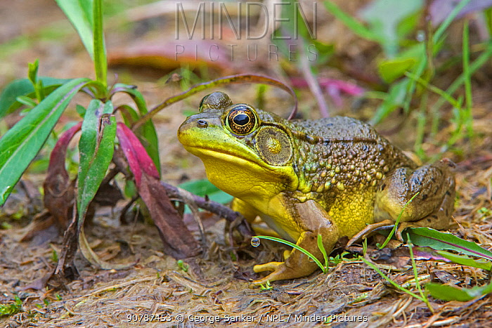 Green Frog (Lithobates clamitans) at the edge of a beaver pond. Acadia National Park, Maine, USA. July.