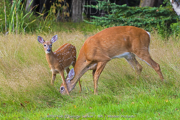White-tailed Deer (Odocoileus virginianus) mother and fawn, Acadia National Park, Maine, USA. August.