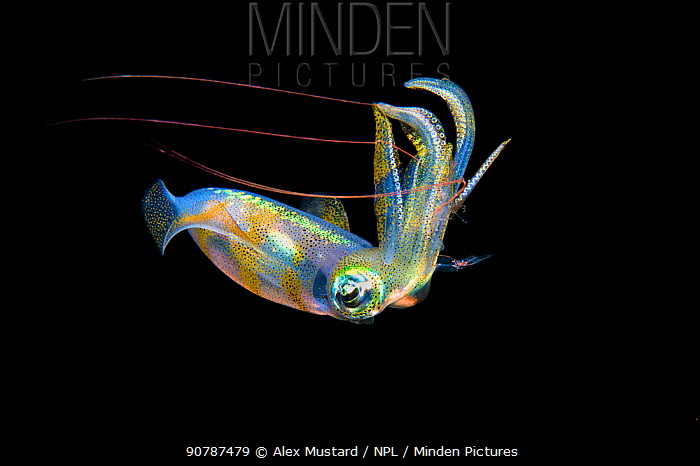 Bigfin reef squid (Sepioteuthis lessoniana) capturing a pelagic shrimp with long red antennae, in midwater, at night. Anilao, Batangas, Luzon, Philippines. Verde Island Passages, Tropical West Pacific Ocean.