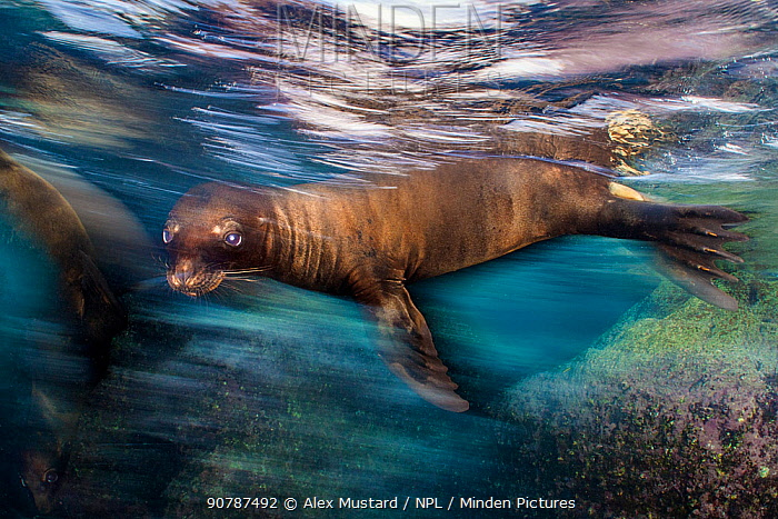 Long exposure of a California sea lion (Zalophus californianus) at the surface. Los Islotes, La Paz, Baja California Sur, Mexico. Sea of Cortez, Gulf of California, East Pacific Ocean.