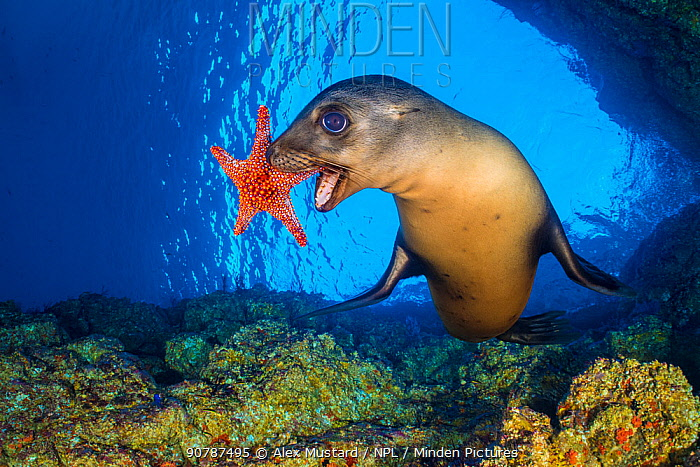 California sea lion (Zalophus californianus) uses a Panamic cushion star (Pentaceraster cumingi) as a toy. The sealions pick up the starfish and then drop them and chase after them as they sink. Los Islotes, La Paz, Baja California Sur, Mexico. Sea of Cortez, Gulf of California, East Pacific Ocean.