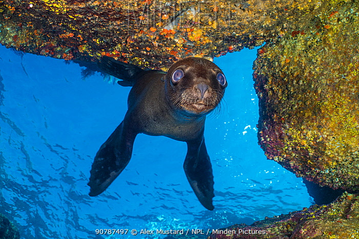 California sea lion (Zalophus californianus) inside an underwater cave. Los Islotes, La Paz, Baja California Sur, Mexico. Sea of Cortez, Gulf of California, East Pacific Ocean.