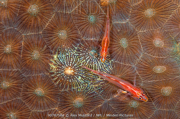 Pair of Michel's gobies (Pleurosicya micheli) laying eggs on an area of hard coral that they have cleared of coral tissue. The male is the larger individual, the female has a swollen belly. Bitung, North Sulawesi, Indonesia. Lembeh Strait, Molucca Sea.