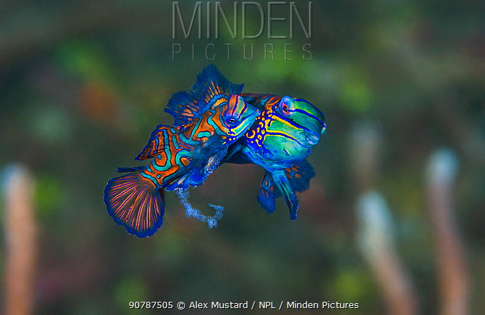 Pair of Mandarinfish (Synchiropus splendidus) spawning. The larger male (behind) is lifting the female into the spawning rise on his pectoral fin, the smaller female (foreground) is releasing eggs, clearly visible below her body. Bitung, North Sulawesi, Indonesia. Lembeh Strait, Molucca Sea.