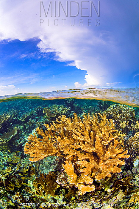 Split level image of Elkhorn coral (Acropora palmata) growing in shallow water. Jardines de la Reina, Gardens of the Queen National Park, Cuba. Caribbean Sea.
