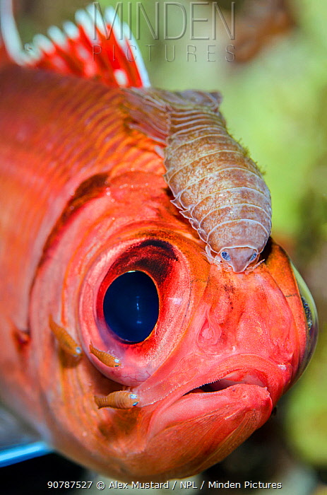Portrait of a Blackbar soldierfish (Myripristis jacobus) infected with Cymothoid isopod parasites. The large parasite between the eyes is a female, the smaller individuals are males. Seven Mile Beach, Grand Cayman, Cayman Islands, British West Indies. Caribbean Sea.