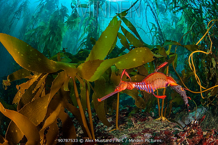 Weedy seadragon (Phyllopteryx taeniolatus) male carries eggs through a kelp forest (Macrocystis pyrifera) in Tasmania, Australia. Tasmania is the only part of Australia with giant kelp forests. The kelp is a variety of the same species found on the other side of the Pacific Ocean in California. Tasman Sea.
