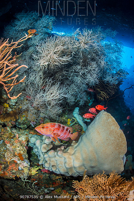 Rich reef scene, showing marine life thriving in a cavern on a coral reef, with large sponges and Black coral (Antipathes sp.), Sixbar grouper (Cephalopholis sexaculata) and Whitetip soldierfish (Myripristis vittata). Ambon, Maluku Archipelago, Indonesia. Banda Sea, tropical west Pacific Ocean.