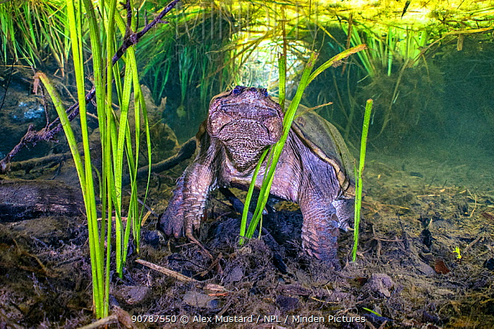 Common snapping turtle (Chelydra serpentina) beneath a canopy of aquatic plants. Ichetucknee Springs State Park, Fort White, Florida, USA