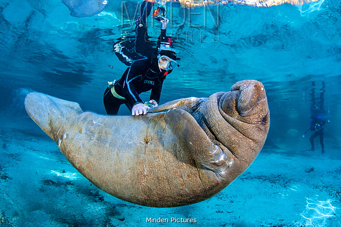 Snorkeller rubbing the belly of a baby Florida manatee (Trichechus manatus latirostris). Three Sisters Spring, Crystal River, Florida, USA