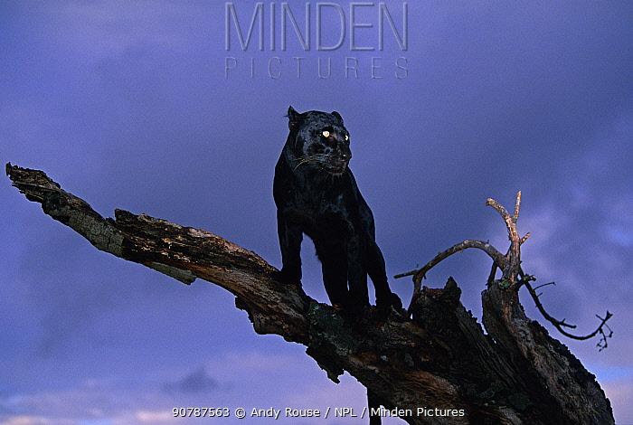 Black panther / melanistic Leopard (Panthera pardus) standing on dead tree, captive. Non-ex