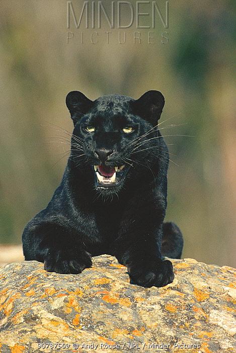 Black panther / melanistic Leopard (Panthera pardus) snarling. Captive. Non-ex