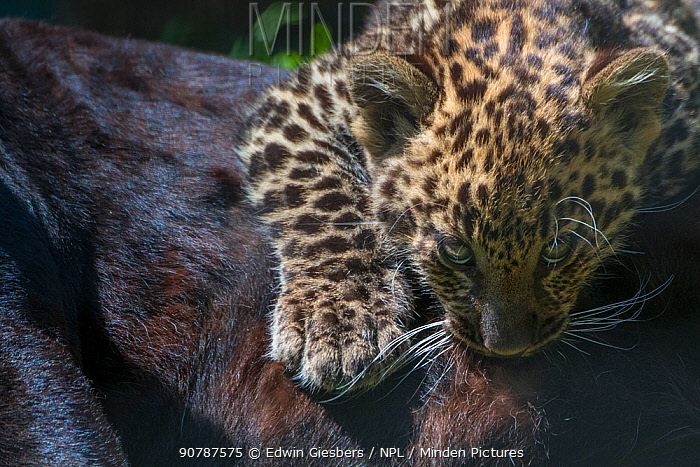 Black panther / melanistic Leopard (Panthera pardus) female with normal spotted cub suckling, captive.