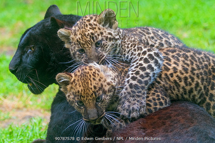 Black panther / melanistic Leopard (Panthera pardus) female with normal spotted cubs playing, captive.