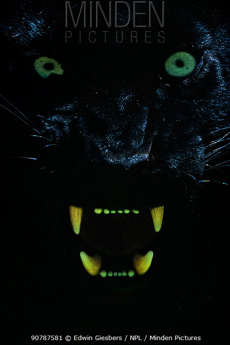 Black panther / melanistic Leopard (Panthera pardus) baring teeth, captive.