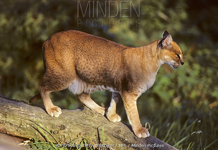 African golden cat (Caracal aurata) female,  captive, occurs in W and Central Africa.