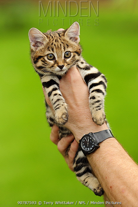 Black-footed cat (Felis nigripes)  captive, occurs in Southern Africa. Hand-raised age 9 weeks. kitten at the Rare Species Conservation Centre, Kent, UK
