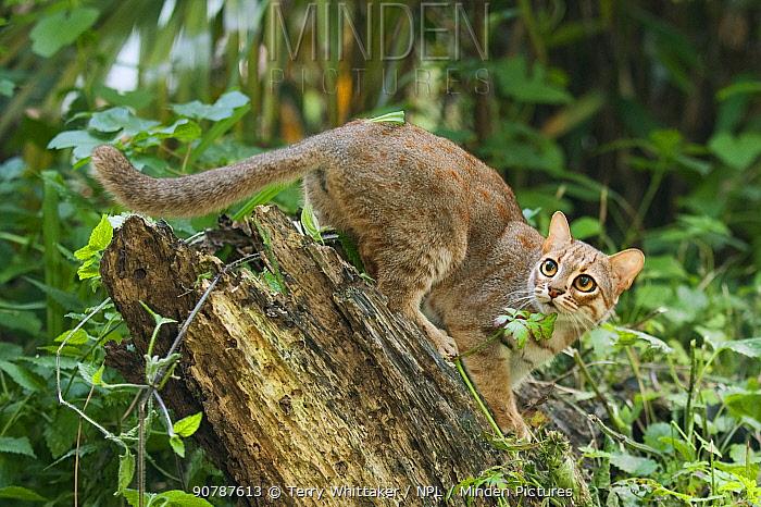 Rusty-spotted cat (Prionailurus rubininosus phillipsi)  captive, occurs in  Sri Lanka.
