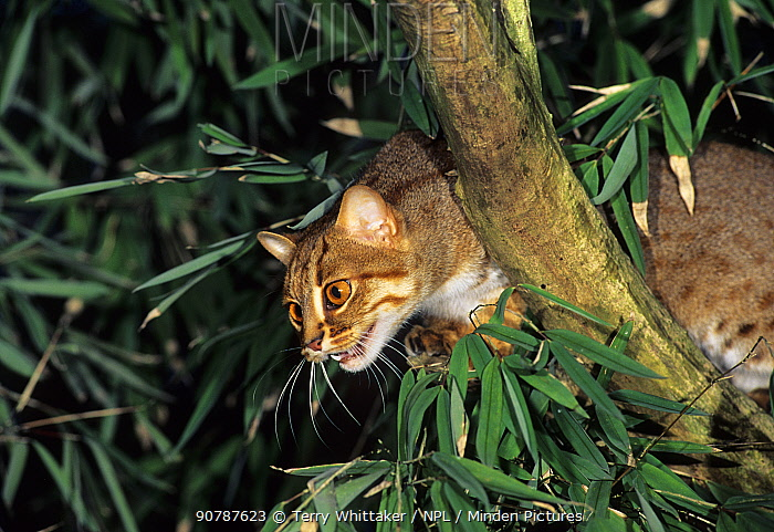 Rusty-spotted cat (Prionailurus rubininosus)  captive, occurs in India and Sri Lanka.