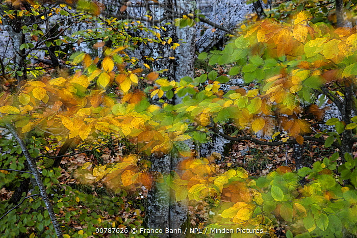 Autumn leaves moving in the wind, Plitvice Lakes National Park, UNESCO World Heritage Site, Central Croatia. Croatia