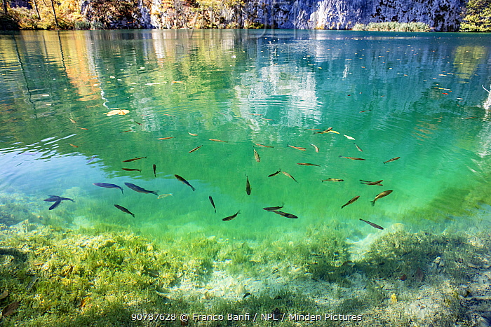 Fish in the crystal-clear water, Plitvice Lakes National Park, UNESCO World Heritage Site, Central Croatia. Croatia