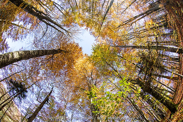 Fisheye view  up into the tree canopy, in autumn colours, Plitvice Lakes National Park, UNESCO World Heritage Site, Central Croatia. Croatia