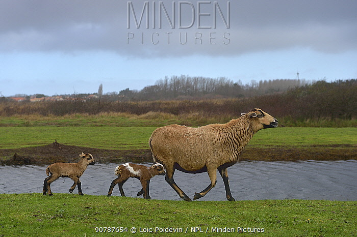 Cameroon sheep, female and lambs, age one day, Ile d'Olonne Marsh, Vendee, France, January.