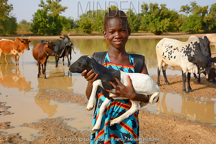 Young girl holding baby goat, with cattle behind, Burkina Faso. December 2017.