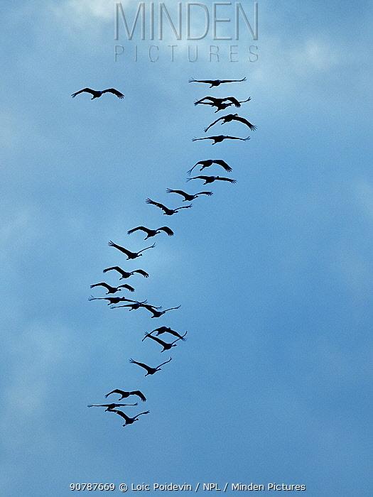 Common cranes (Grus grus) flock in flight, Montier en Der, Champagne, France. November.