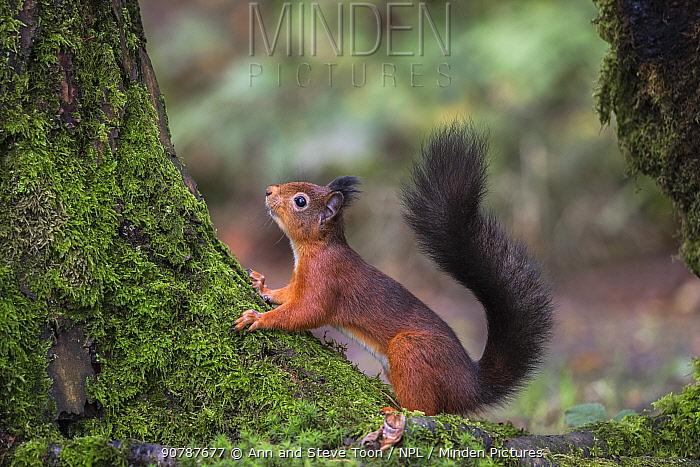 Red squirrel (Sciurus vulgaris), Eskrigg Nature Reserve, Lockerbie, Scotland, October.