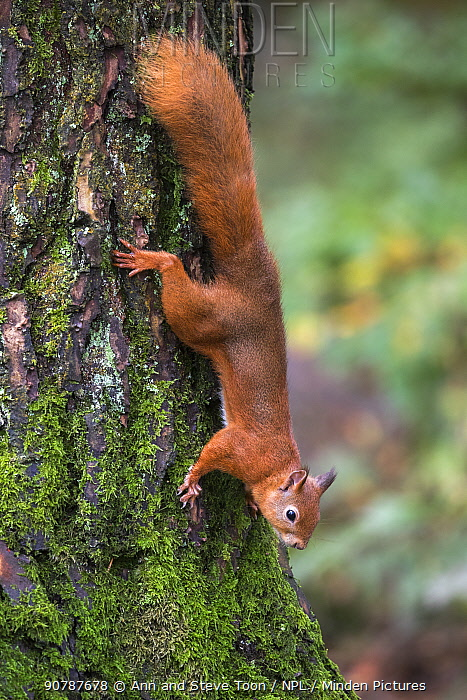 Red squirrel (Sciurus vulgaris) climbing down a tree, Eskrigg Nature Reserve, Lockerbie, Scotland, October.