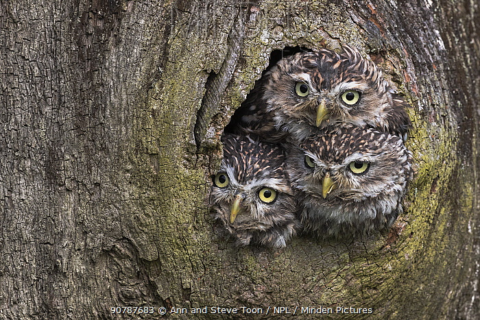 Three Little owls (Athene noctua) looking out of a nest hole, Cumbria, UK, August. Captive.