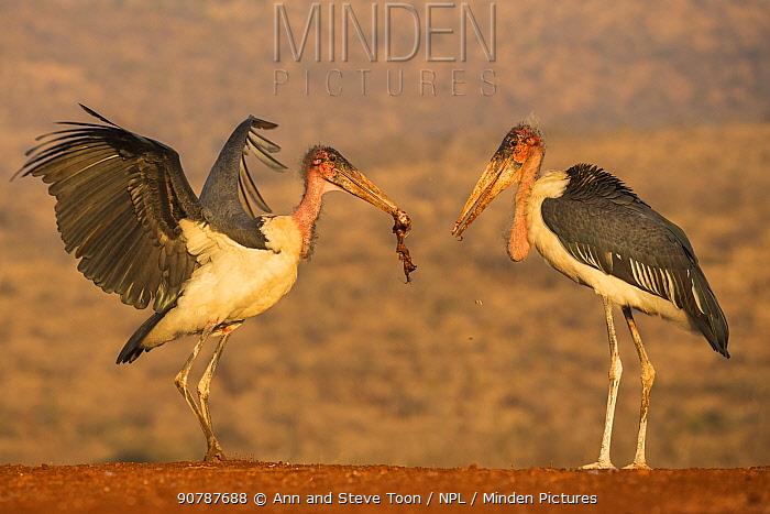 Two Marabou storks (Leptoptilos crumenifer), one with scavenged meat, Zimanga private game reserve, KwaZulu-Natal, South Africa, June.