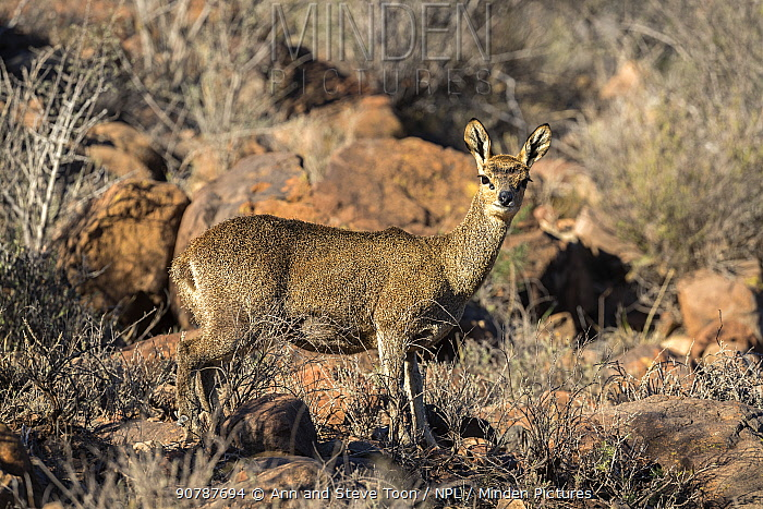 Klipspringer (Oreotragus oreotragus) female, Karoo National Park, South Africa, September.