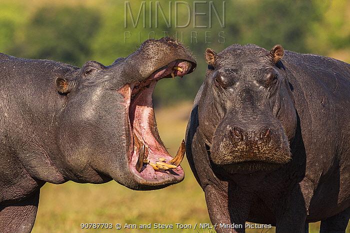 Two Hippos (Hippopotamus amphibius), one yawning, Chobe National Park, Botswana, June.