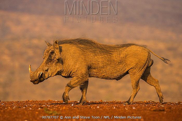 Warthog (Phacochoerus africanus) walking, Zimanga private game reserve, KwaZulu-Natal, South Africa, September.