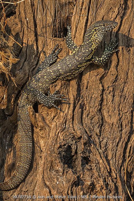 Juvenile Nile monitor (Varanus niloticus), resting on tree trunk, Chobe River, Chobe National Park, Botswana, Africa, September.