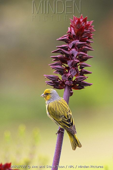 Cape canary (Serinus canicollis) on flower, Kirstenbosch Botanical Gardens, Cape Town, South Africa, September.